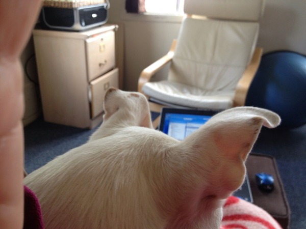 A computer is barely visible over the head of a white dog sitting in my lap.